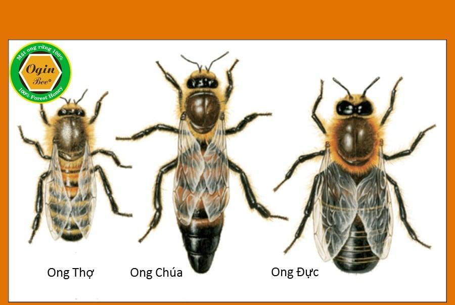 kích thước loài ong
