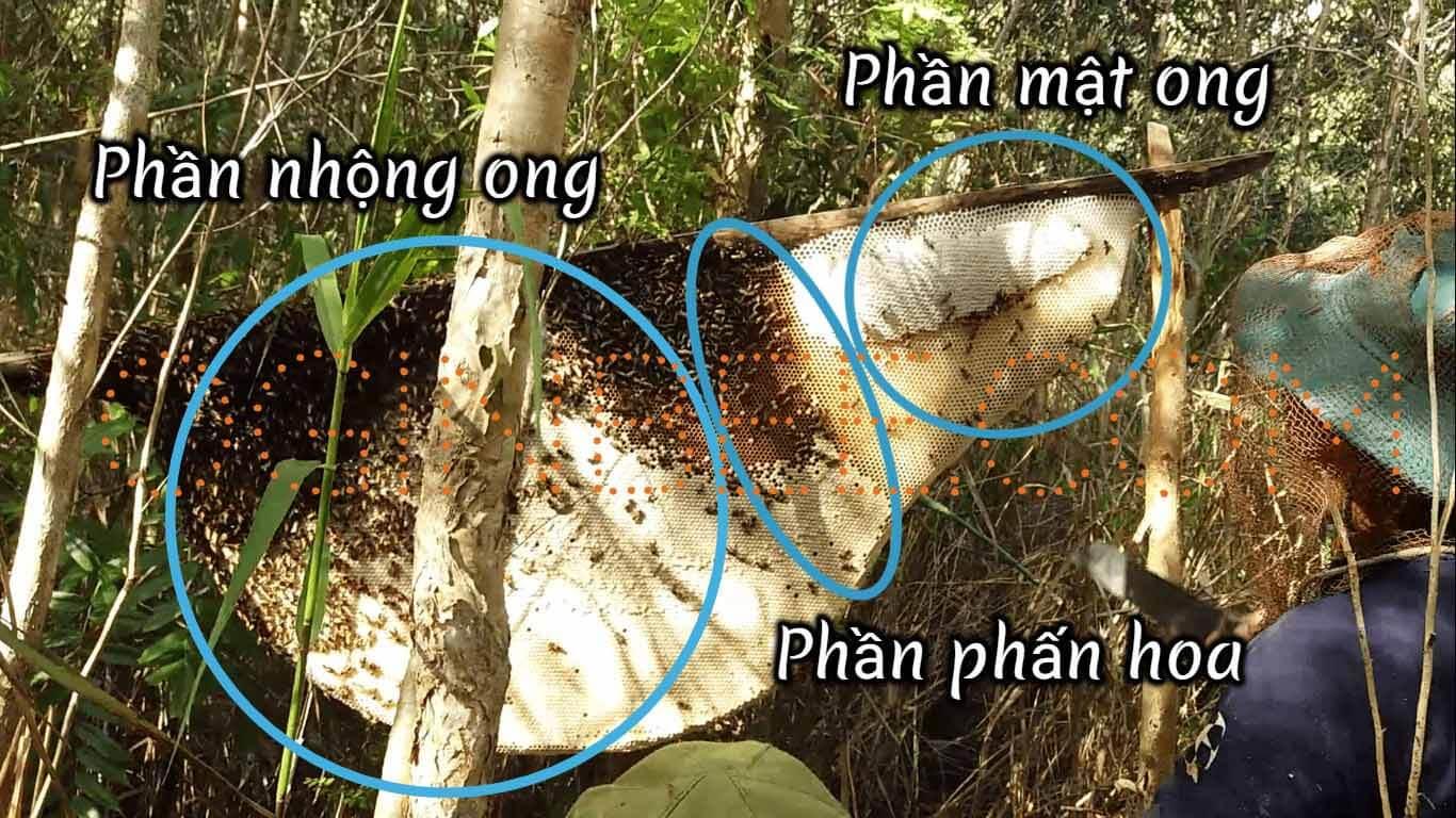 Tổ ong gác kèo ở rừng tràm U Minh
